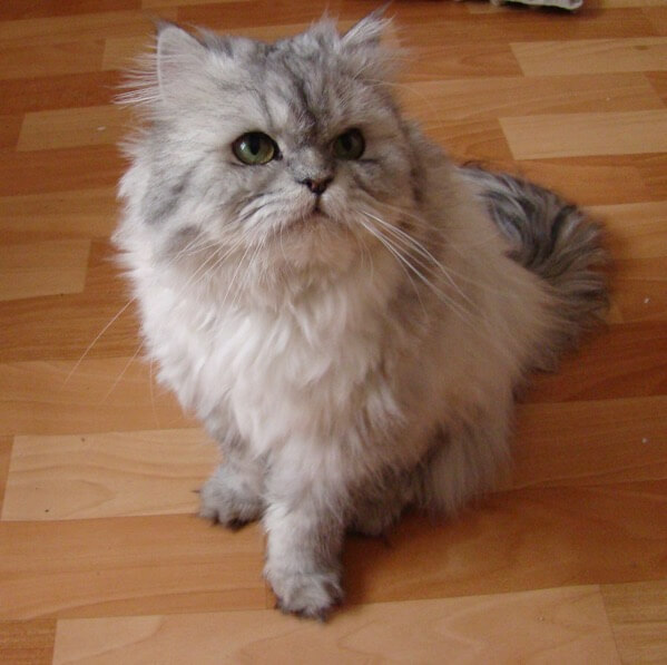1920px Doll face silver Persian