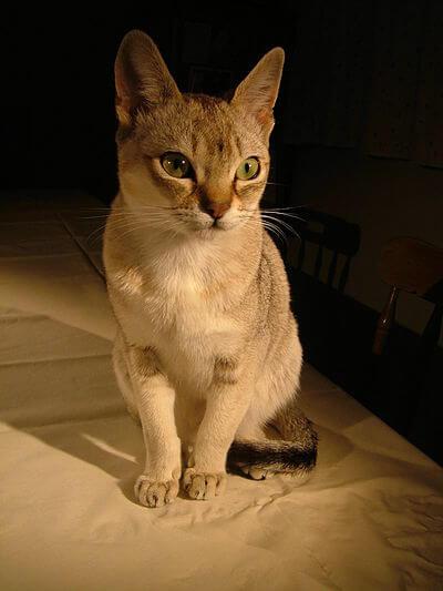 400px Raffles singapura cat
