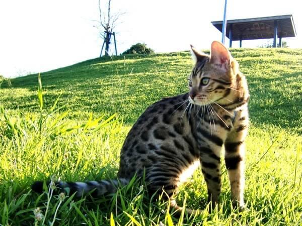 Bengal Cat catcrest1