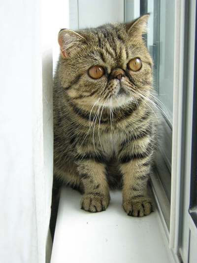 Brown Exotic Shorthair Kitten