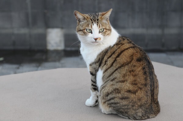 Brown and white tabby cat with green eyes Hisashi 01