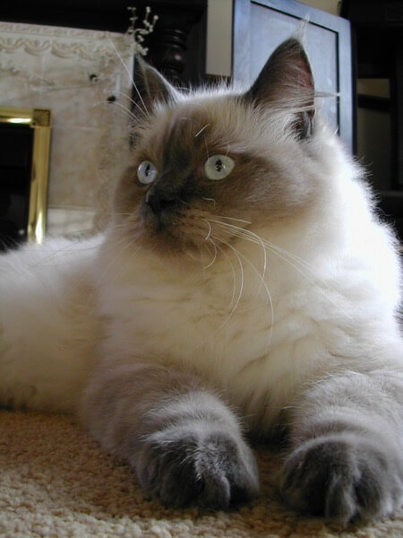 Ragdoll Blue Colourpoint