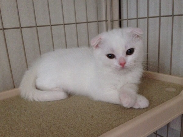 Scottishfold white yuki