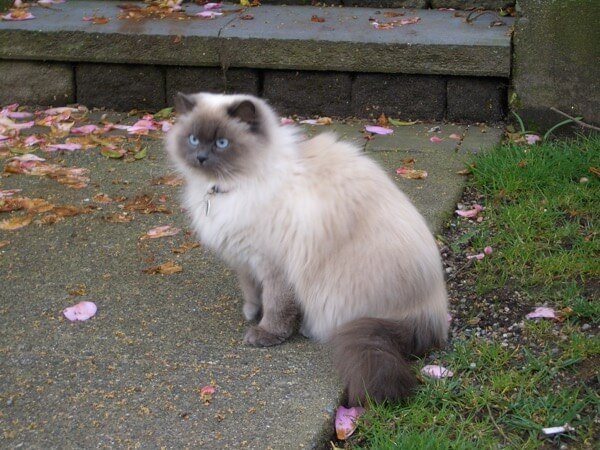 Strathcona Siamese Persian mix cat 3730